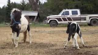 Pawnee Black Tobiano Miniature Foal