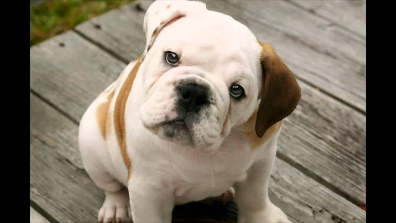 bulldog utube cute english bulldog puppies 2015 hd youtube 3110