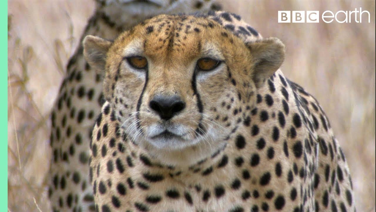 three cheetahs vs ostrich