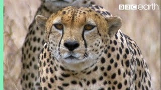 Three Cheetahs Vs Ostrich | Life | BBC Earth