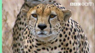 Download Three Cheetahs Vs Ostrich   Life   BBC Earth