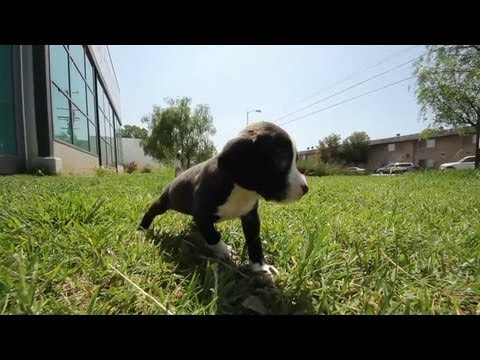 Baby Beagle Mix Playing in the Grass | The Daily Puppy