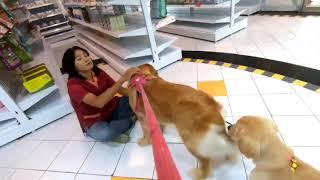 멍지 물리치료 받는 날 - 골든리트리버 강아지들도 만났…