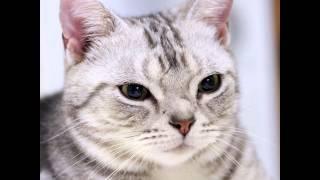 Американская жесткошерстная кошка (American wirehair cat) породы кошек( Slide show)!