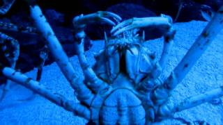 Большие и страшные крабы (шанхайский океанариум, 2010)(В сентябре 2010 года сотрудники редакции журнала «Потребитель» съездили в командировку в китайский Шанхай...., 2011-01-31T19:07:59.000Z)