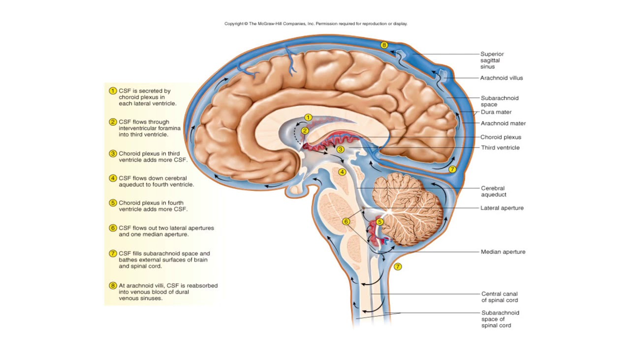 Anatomy Of Meninges Image collections - human body anatomy