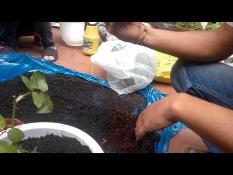 Hướng dẫn cách trộn đất và trồng cây hoa hồng  bằng chậu P2