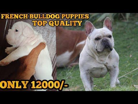 French Bulldog Puppy Sale