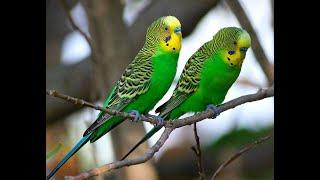 Волнистый попугай. Как определить пол? Как отличить больную птицу от здоровой?