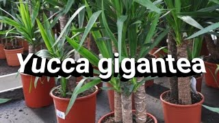 Facts about Yucca gigantea (yucca palm)  Indoor Garden