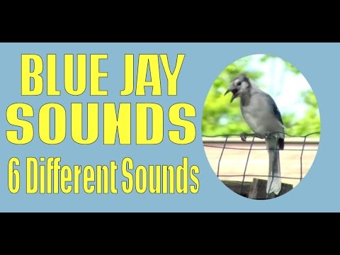 Blue Jay Call Bird Sounds Project - 6 Different So Far and Counting