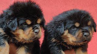Rottweiler Puppy For Sale Doggyz World