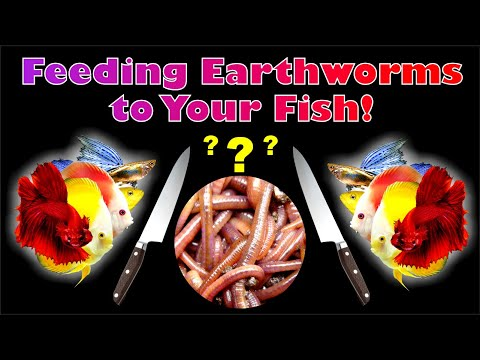 Feeding Earthworms To Your Fish!