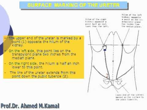 59 Surface Markings Of Ureter Abdomen Youtube