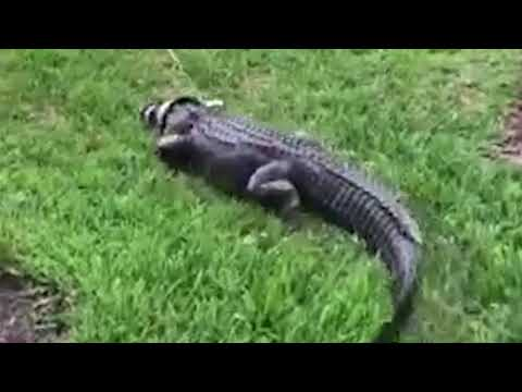 Gator Rescued From Underneath Car In Sarasota, Florida | 10News WTSP
