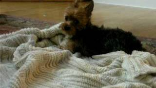 Regina The Yorkie Dries Off After Her Bath