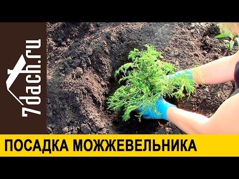 Как посадить можжевельник в открытый грунт