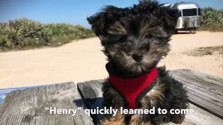 How to teach your pup to come - Micheline's Pups
