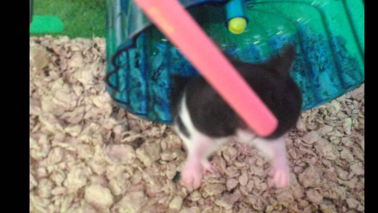 new teddy bear hamster!! black and white - YouTube