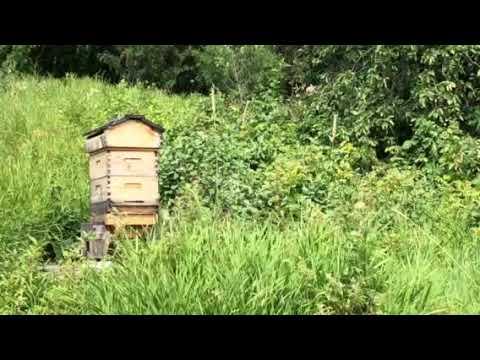 Honey Bee Dreaming