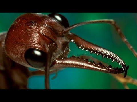 Вопрос: В каких странах обитают армейские муравьи Чем опасны?