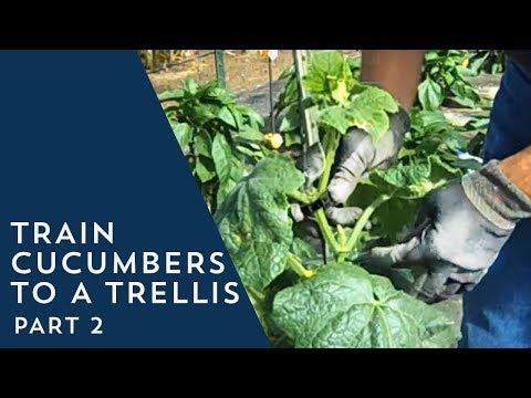 How to Train Cucumbers to a Trellis 2