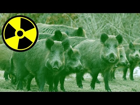 Radioactive Wild Boars Are Taking Over Towns