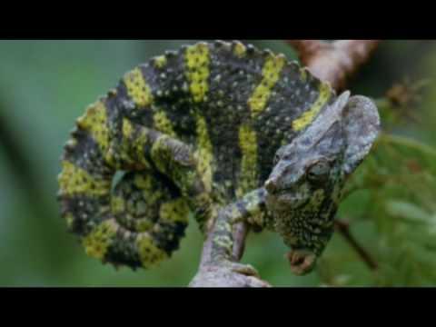 The Meller's Chameleon