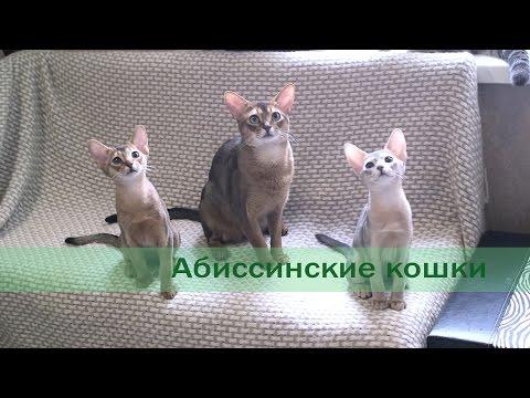 Абиссинская кошка - описание породы кошки, фото, стандарт