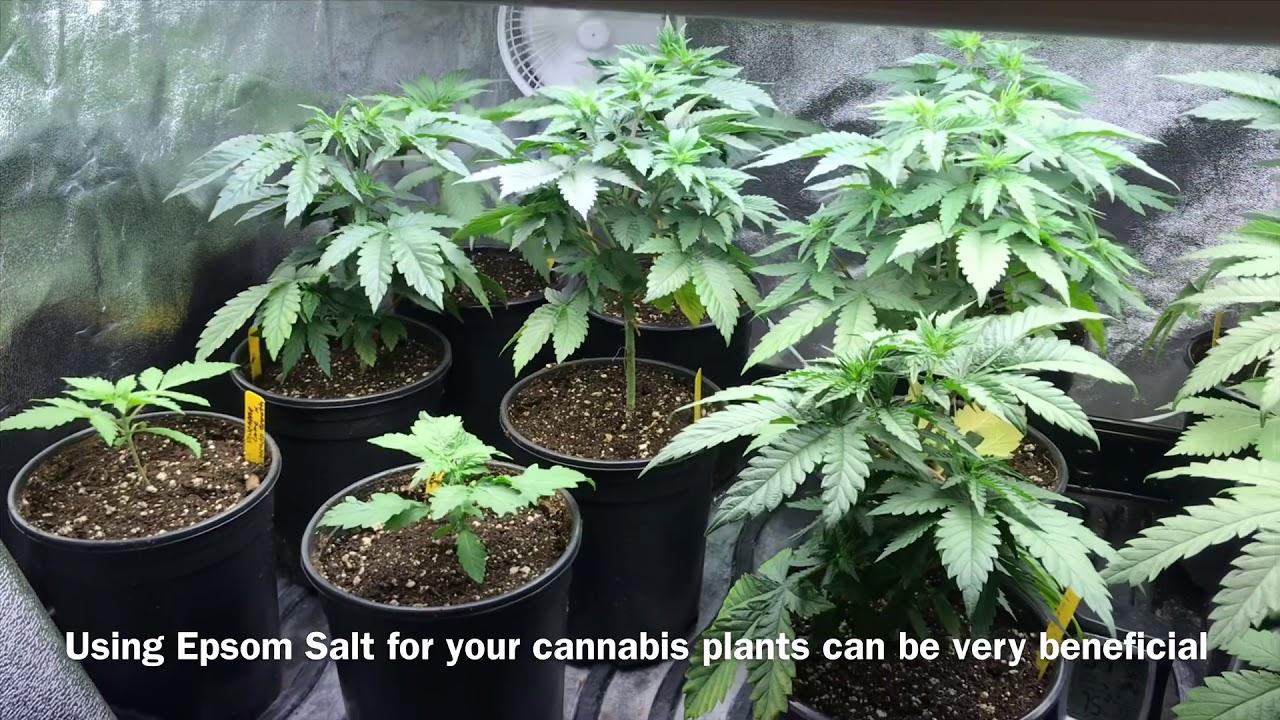 Epsom Salt For Cannabis Plants Youtube