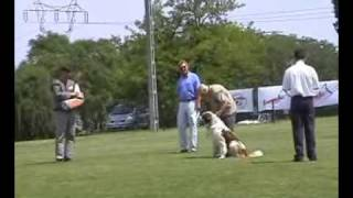 Schutzhund Moscow Sentry dog ipo1/C Московская сторожевая , Moscow Watchdog