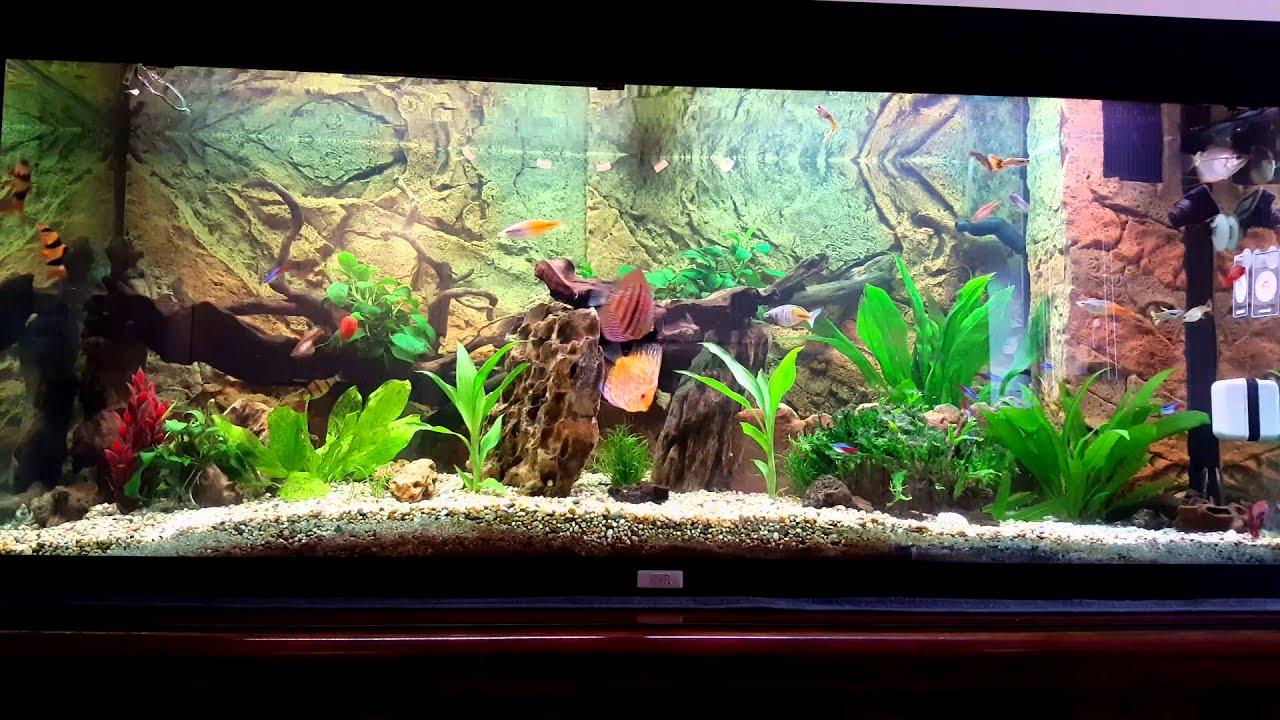 Juwel rio 240 aquarium fish tank - Juwel Rio 240 Fish Tank Feeding Time Discus Gourami Tetra Cory Clown Loach Puffer Beta