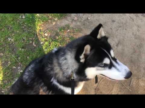 Crittering-For Prey Driven Dogs to help them care less about other animals, ecollar trained husky