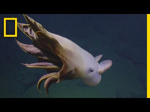 Rare Dumbo Octopus Shows Off for Deep-sea Submersible | National Geographic