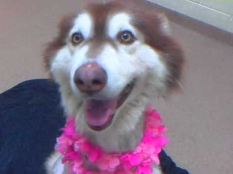 Meet POOKIE a Alaskan Malamute currently available for adoption at Petango.com! 7/24/2013 3:03:29 PM