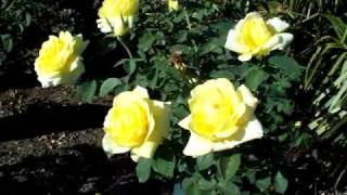 Mellow Yellow Hybrid Tree RoseYellow, The bright buttery yellow flo...