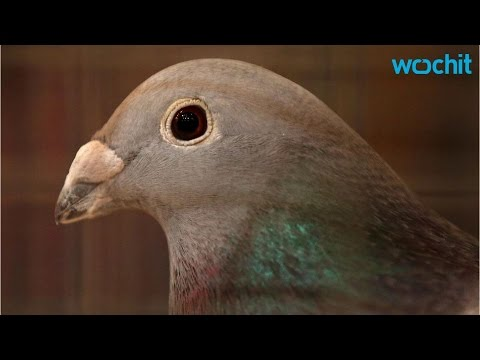 Portugal Pilots Warned of 70,000 Homing Pigeons