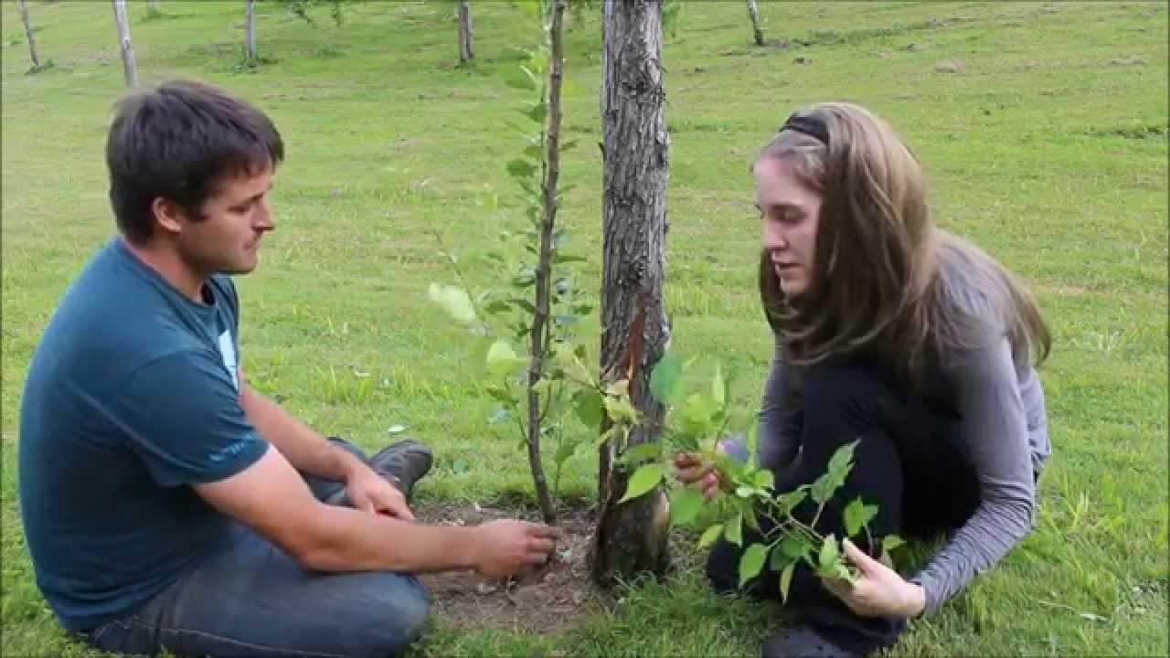 tailler un arbre qui a gel l 39 hiver pommier poirier p pini re ancestrale youtube. Black Bedroom Furniture Sets. Home Design Ideas