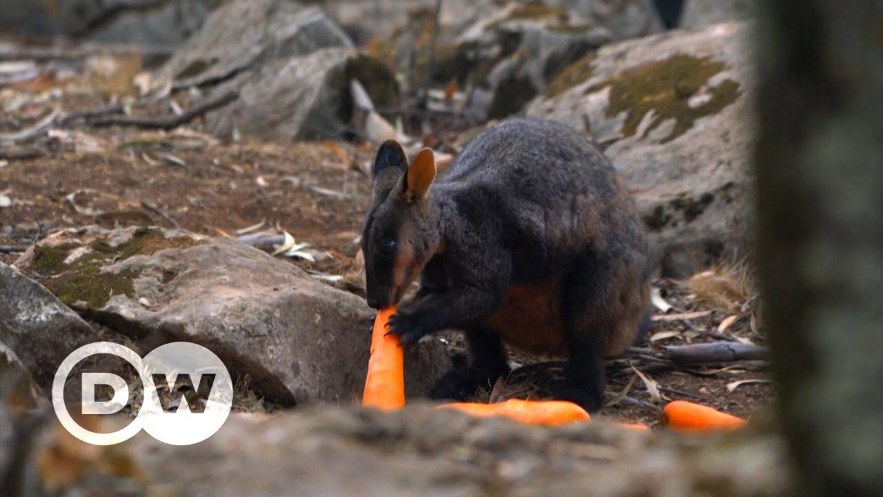 Chuva de cenouras para animais na Austrália