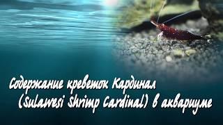 Содержание креветок Сулавеси Кардинал в аквариуме