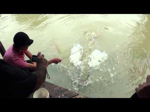 Paiche Fish Eating At The Mouth Of Amazon In Peru