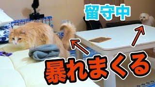 留守中に犬と猫が暴れまくってた件!!(´・ω・`)【隠し撮り】 PDS