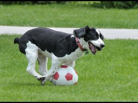 """""""Dogs Playing Soccer/Football Compilation""""    CFS"""