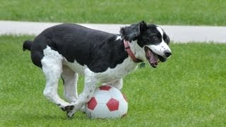 """""""Dogs Playing Soccer/Football Compilation"""" 