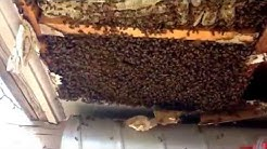Phoenix bee removal | Glendale Bee removal - This is what 200 + pounds of honey