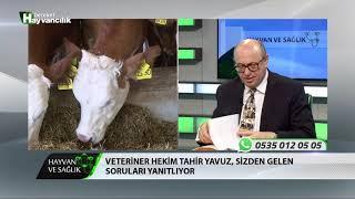 Hayvan Ve Sağlık   Suni Tohumlama Ve Kızgınlık Tespiti