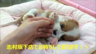 志村坂下店初!! キャバリア・キング・チャールズ・スパニエルちゃんの...