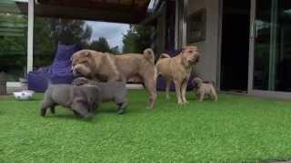 6.5 Weeks Old Sharpei Puppies