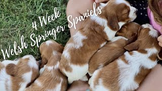 Our FIRST litter of Welsh Springer Spaniels at 4 Weeks Old