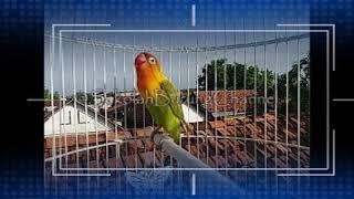 Download lagu Terapi Suara Panggilan Call Lovebird Memancing Lovebird Balibu Langsung Nyaut Dan Ngekek Panjang MP3